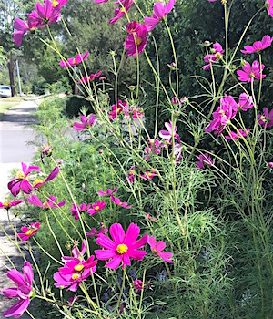 cosmos on the nature strip